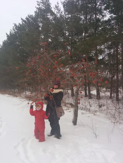 Cuillette de pomme en hiver